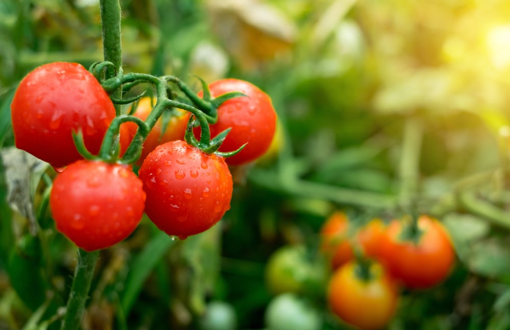 Tomatoes have properties to enhance your skincare routine.